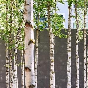 birch trees in the courtyard